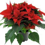 kerstster rood 17cm